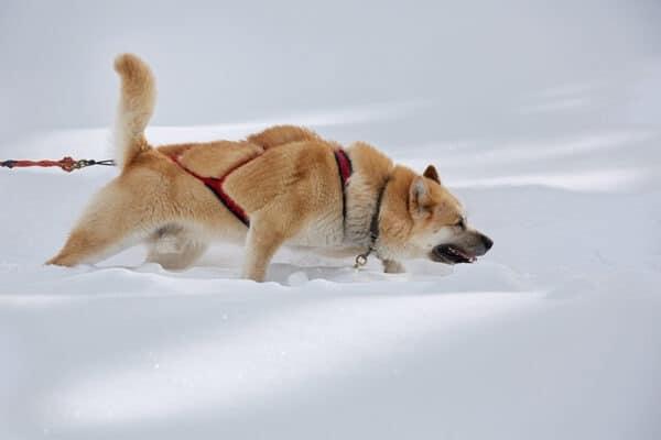 photographie sur les chiens de mushers de Jean-Pierre Collin