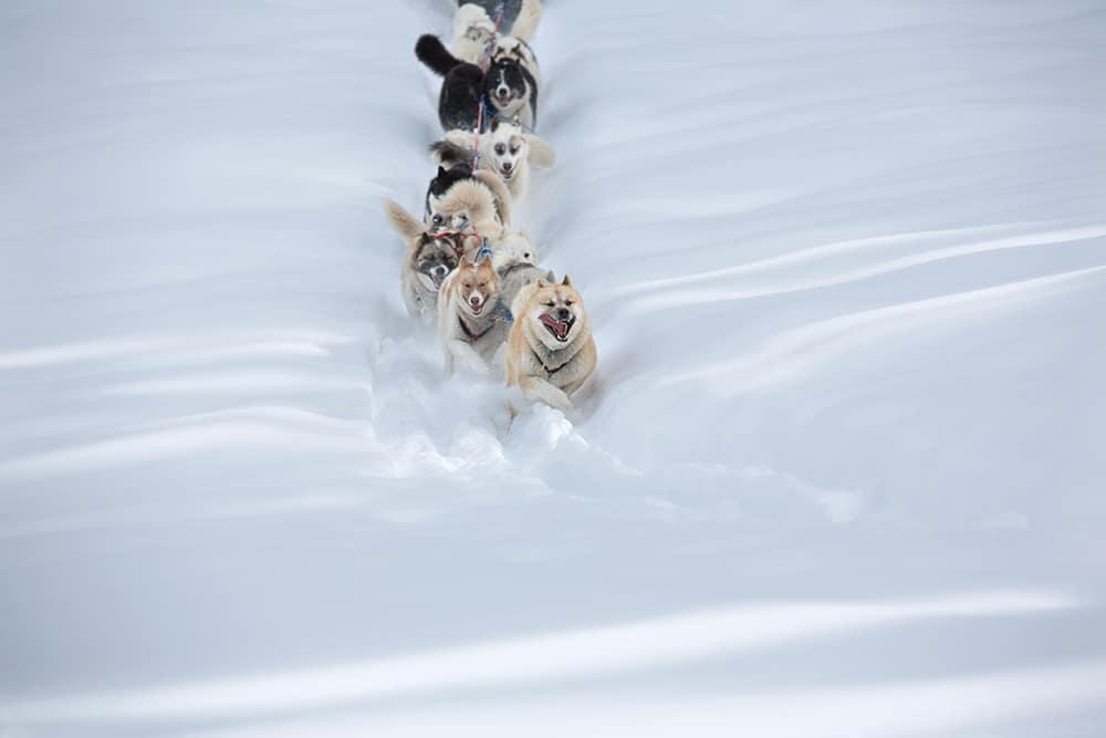 Photographie réalisée dans le Jura - Meute de chiens réalisée par Jean-Pierre Collin