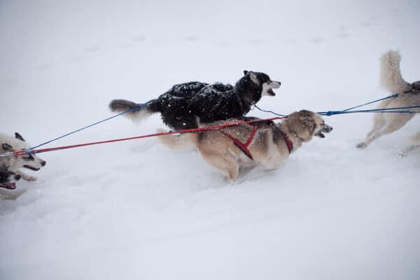 Chiens de traineaux Jura - photographie sur les chiens de mushers de Jean-Pierre Collin